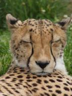 cheetah_tansy2