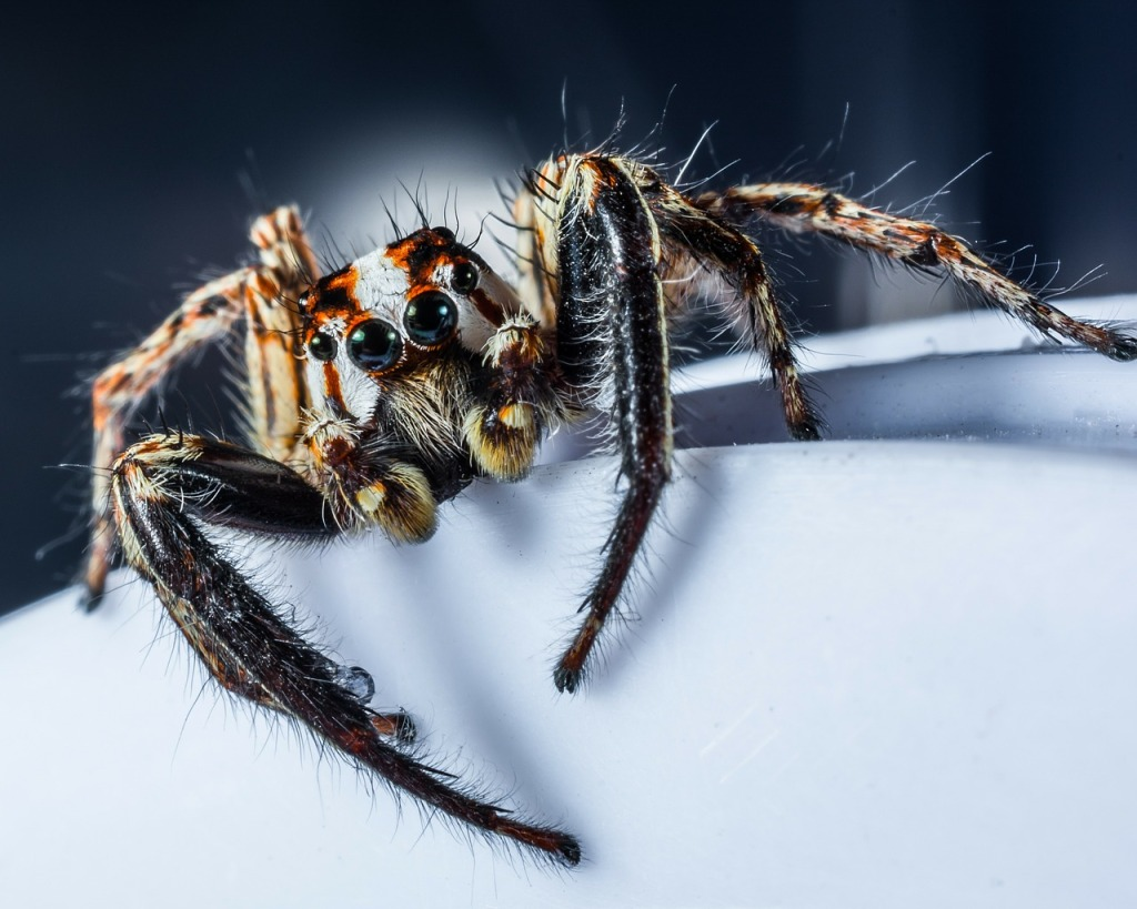 jumping spider up close and personal